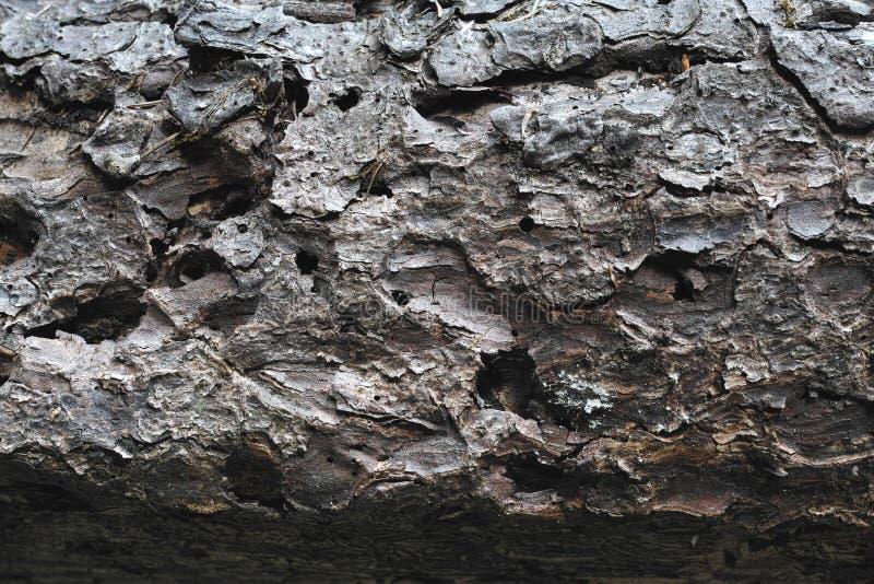 Textura del árbol de abeto imagen de archivo