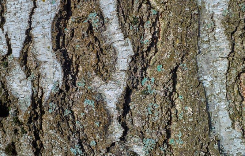 Textura del árbol de corteza con el musgo azul foto de archivo