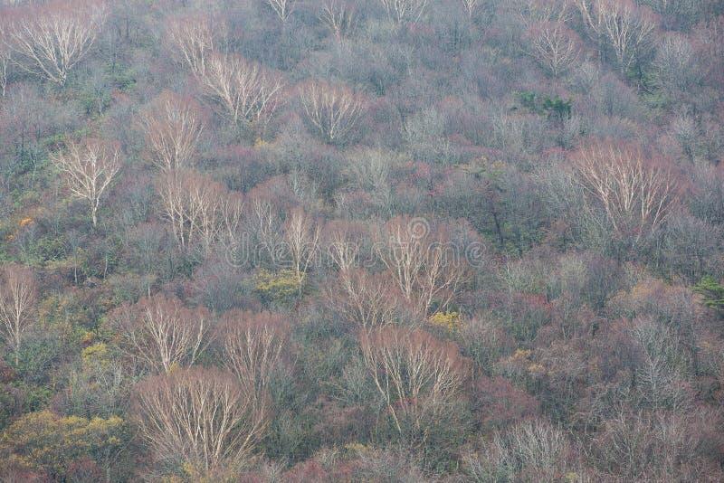 Textura del bosque natural en otoño en la línea camino - Bandai, Fukushima, Japón del oro Bandai-san imagenes de archivo