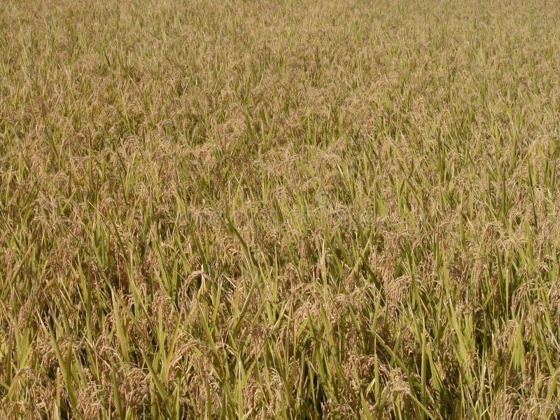 Textura del campo del arroz del otoño foto de archivo libre de regalías