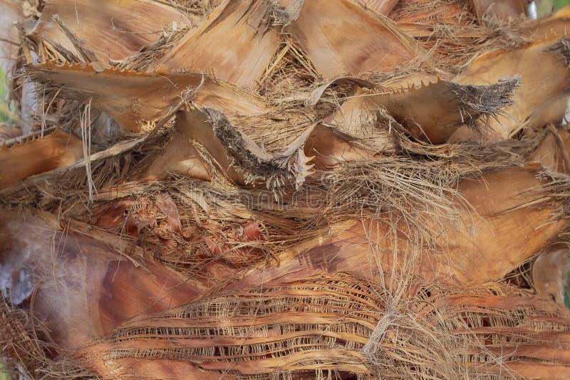 Textura del cierre de la palmera del tronco. Estructura del tronco de la superficie de la palmera fotografía de archivo