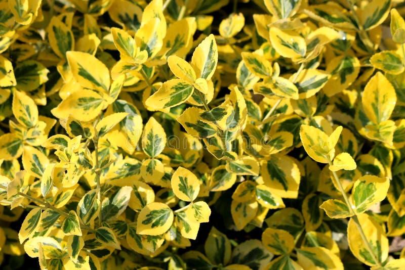 Textura del fondo del arbusto imperecedero de oro del marginatus japonicus del Euonymus o de Aureo del Euonymus con el bosque osc foto de archivo