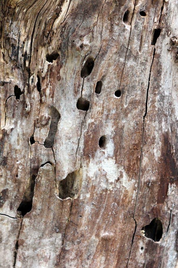 Textura del fondo de la corteza de árbol marrón clara vieja llenada de las grietas y de los agujeros fotografía de archivo libre de regalías