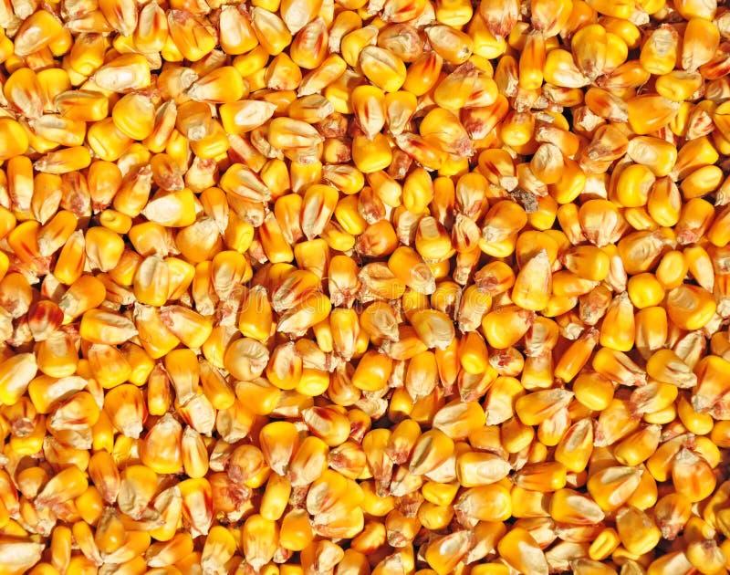 Textura del germen del maíz imagen de archivo libre de regalías