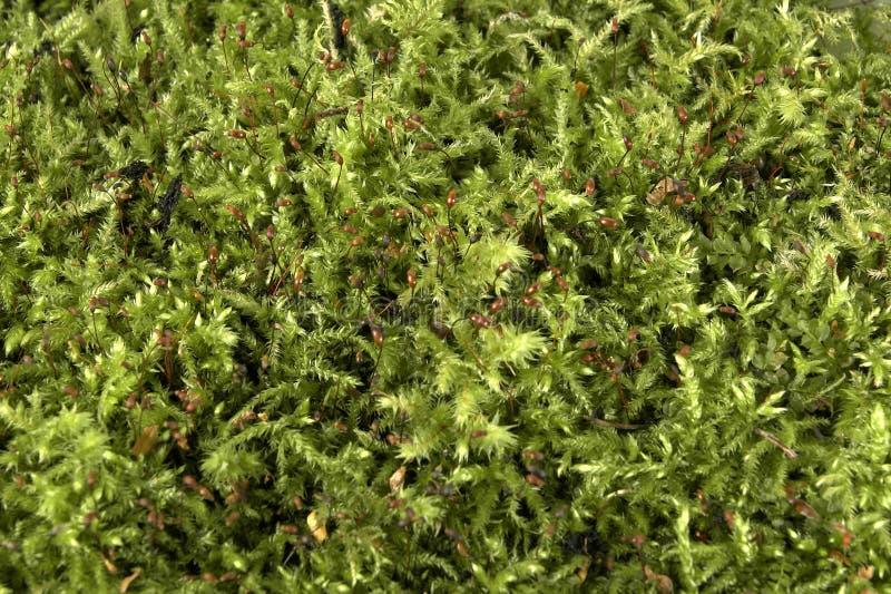 Textura del musgo foto de archivo libre de regalías