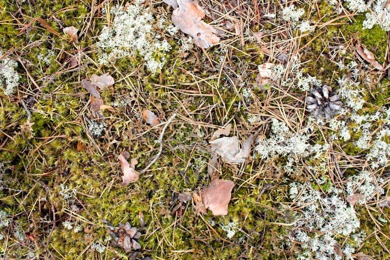 Textura del musgo del bosque, vegetación salvaje del bosque verde con los pedazos de imagen de archivo libre de regalías