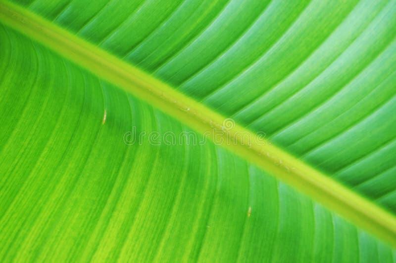 textura del plátano de la hoja foto de archivo