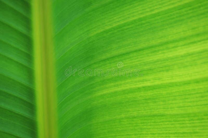 textura del plátano de la hoja imagenes de archivo