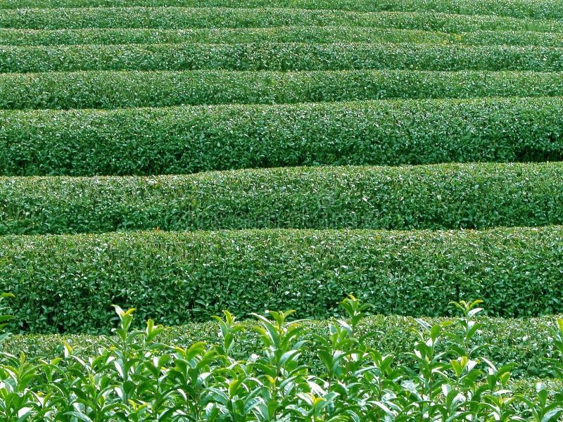 Textura del té verde fotos de archivo
