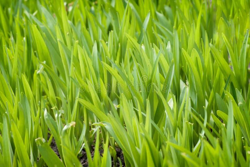Textura delicada de la hierba jugosa de la primavera bajo luz del sol Primer del pasto del prado del campo imágenes de archivo libres de regalías