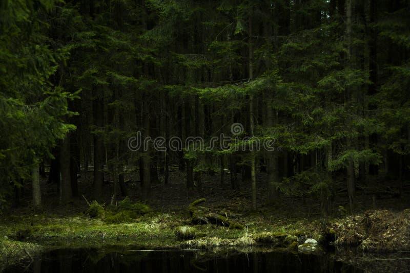 Textura densa Lituania del bosque de los árboles de pino fotos de archivo