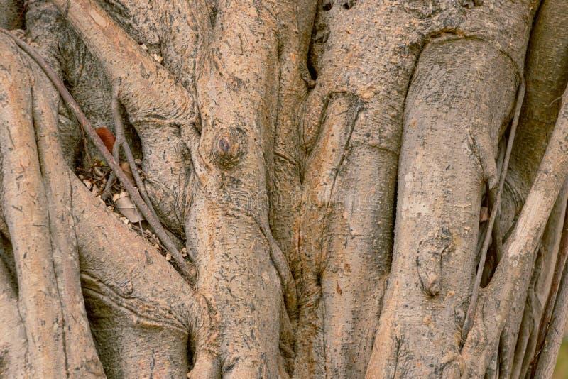 textura di legno di struttura del caffè della ferrovia di árbol fotografia stock