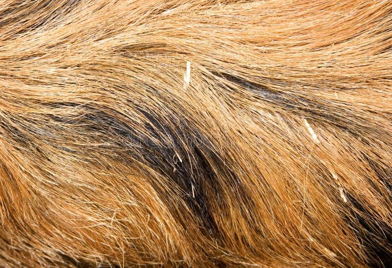 Textura do cabelo do varrão fotografia de stock royalty free