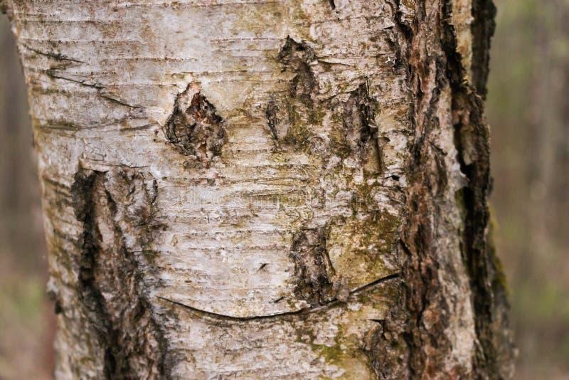 Textura do close-up da casca de vidoeiro Casca de vidoeiro de tiragem Face engra?ada imagem de stock