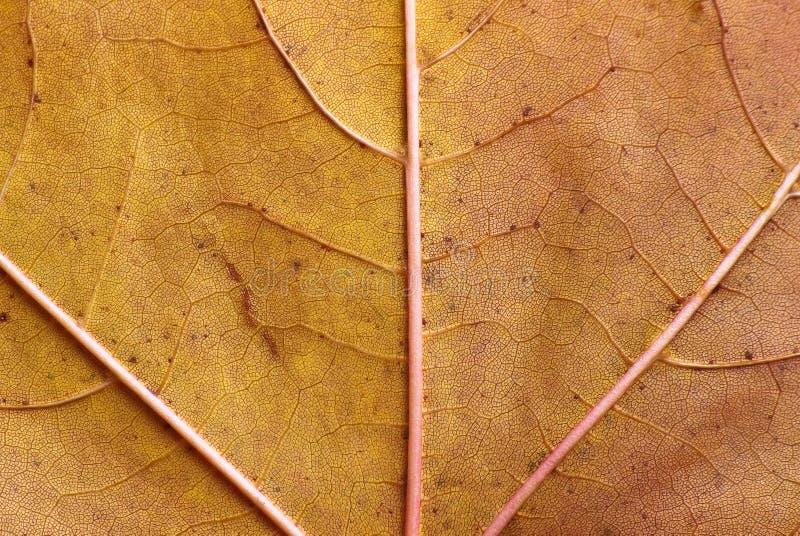 Textura do close-up da folha de plátano imagens de stock