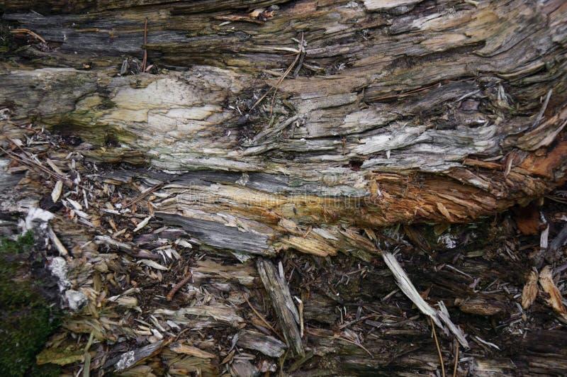 Textura do close up podre velho da madeira lançada à costa do coto fotografia de stock royalty free