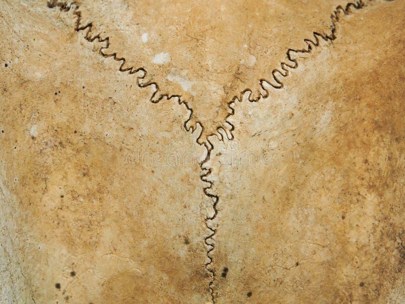 Textura do crânio dos cervos fotografia de stock