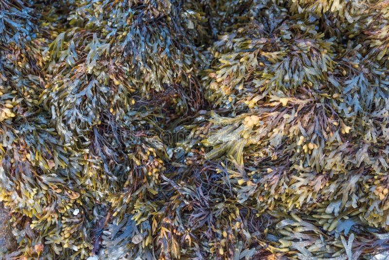 Textura do fundo da alga foto de stock