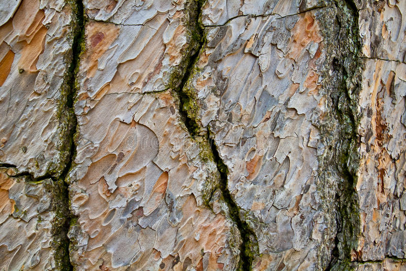 Textura do fundo da casca de árvore fotografia de stock royalty free