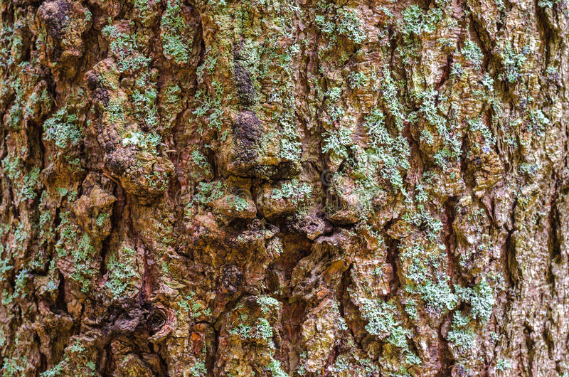 Textura do fundo da casca de árvore Descasque a casca de uma árvore que siga o rachamento fotos de stock royalty free