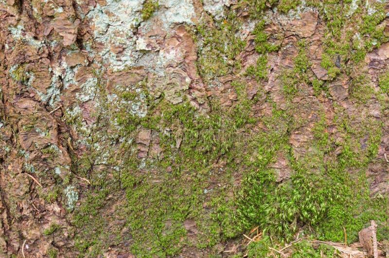 Textura do fundo da casca de árvore Descasque a casca de uma árvore que siga o rachamento fotografia de stock
