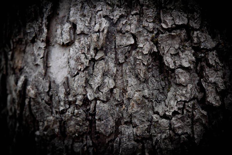 Textura do fundo da casca de árvore Descasque a casca de uma árvore que siga o rachamento foto de stock royalty free