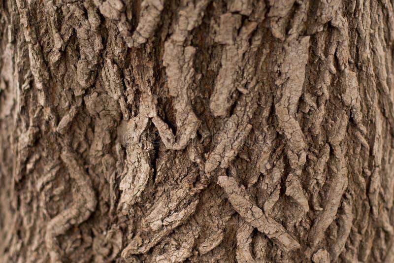 Textura do fundo da casca de árvore Descasque a casca de uma árvore que siga o rachamento fotografia de stock royalty free