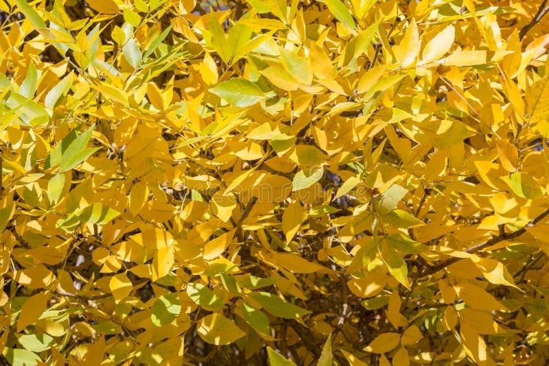 Textura do fundo das folhas de outono do ouro amarelo em uma árvore no imagens de stock