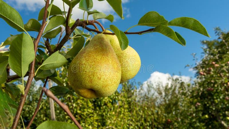 Textura do fundo do ramo da pera com close up dos frutos O conceito da jardinagem bem sucedida, espa?o da c?pia imagem de stock