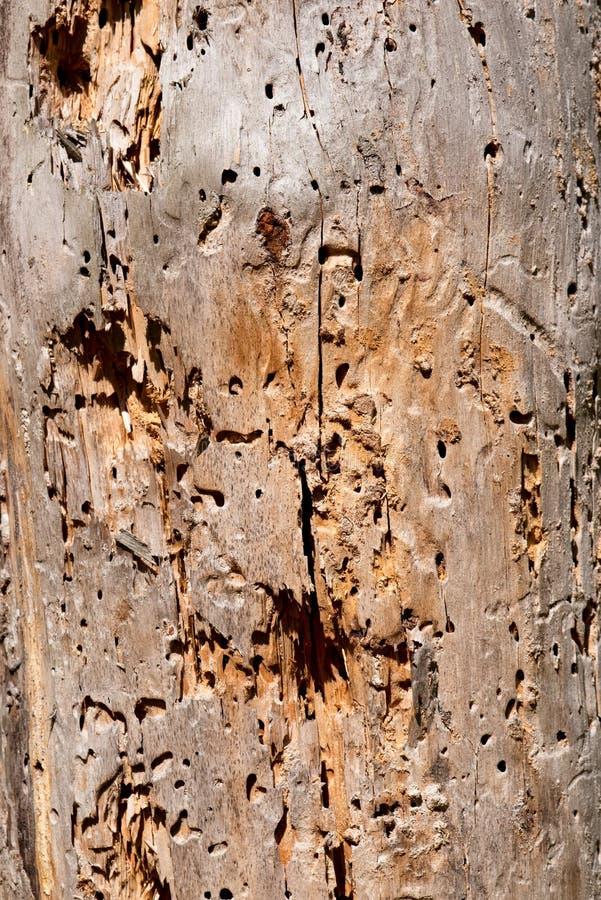 Textura do tronco de árvore danificada pela larva de carcoma imagens de stock royalty free