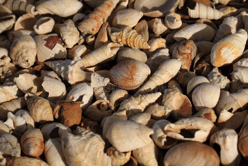 Textura dos fosils de Shell imagem de stock royalty free