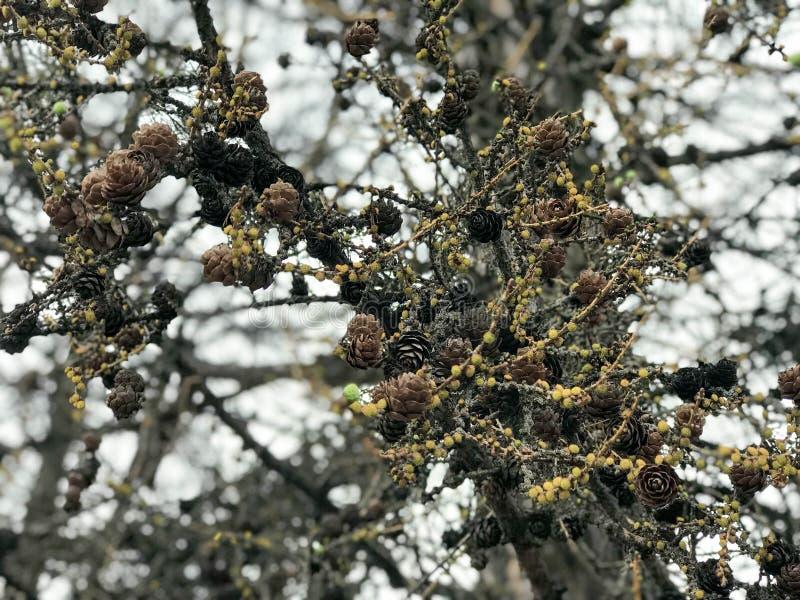 A textura dos muitos abeto vermelho original, ramos de pinheiro com cones do pinho e agulhas fotografou no modo de retrato contra fotografia de stock
