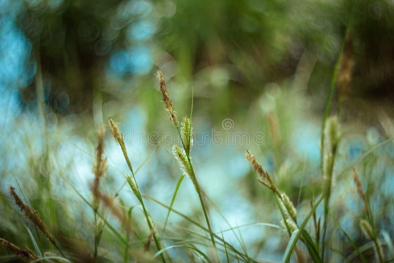 Textura e fundo da grama verde com bokeh no dia ensolarado Grama suculenta brilhante do carriço em amarelo azul verde borrada imagens de stock