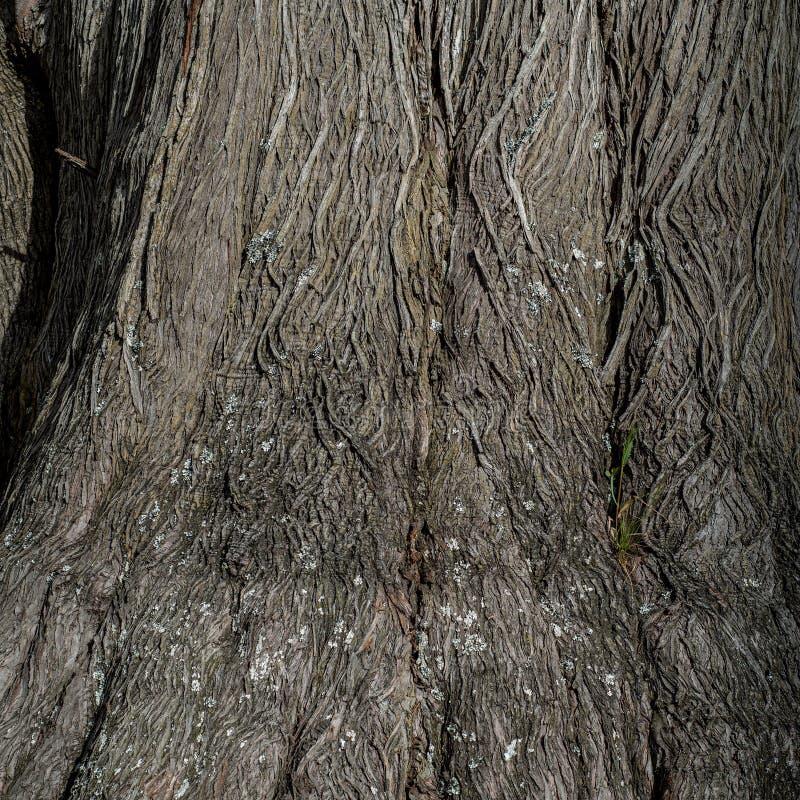 Textura e fundo de madeira de uma árvore de cipreste fotos de stock royalty free