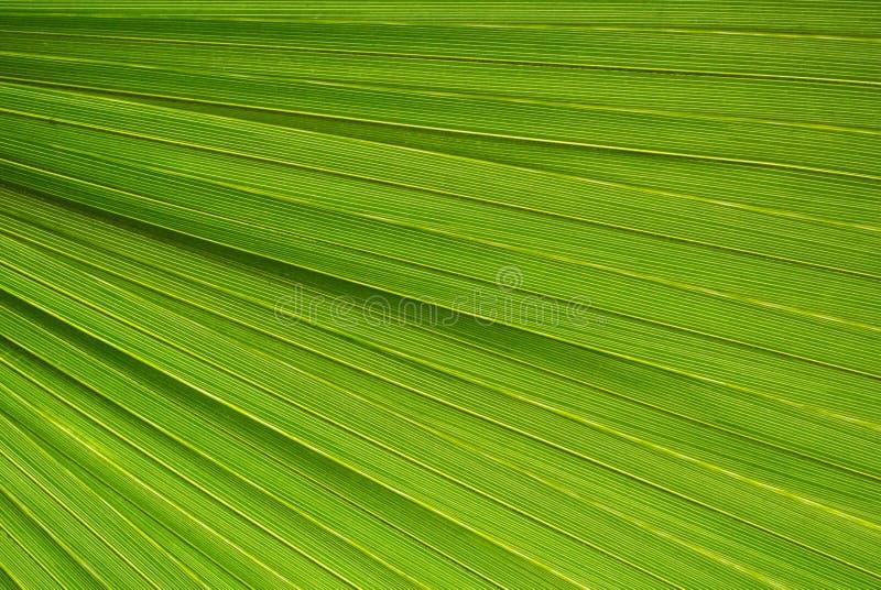 Textura em folha de palmeira imagens de stock royalty free