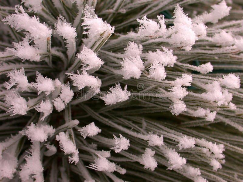 Textura escarchada del pino imagenes de archivo
