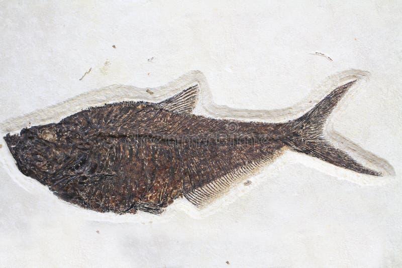 textura fóssil dos peixes imagem de stock royalty free