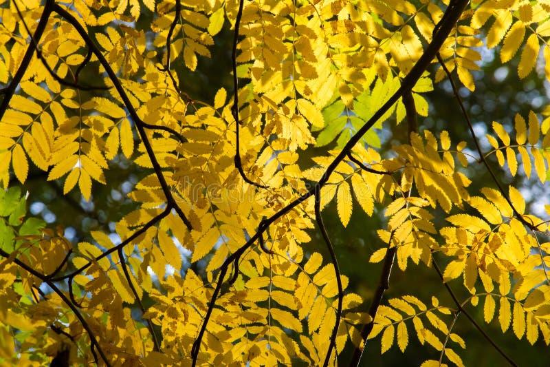 Textura, fundo, teste padrão Folhas de outono vermelhas do verde amarelo sobre fotografia de stock royalty free