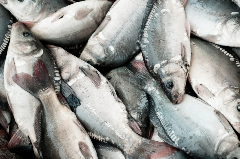 Textura grande de los pescados foto de archivo libre de regalías