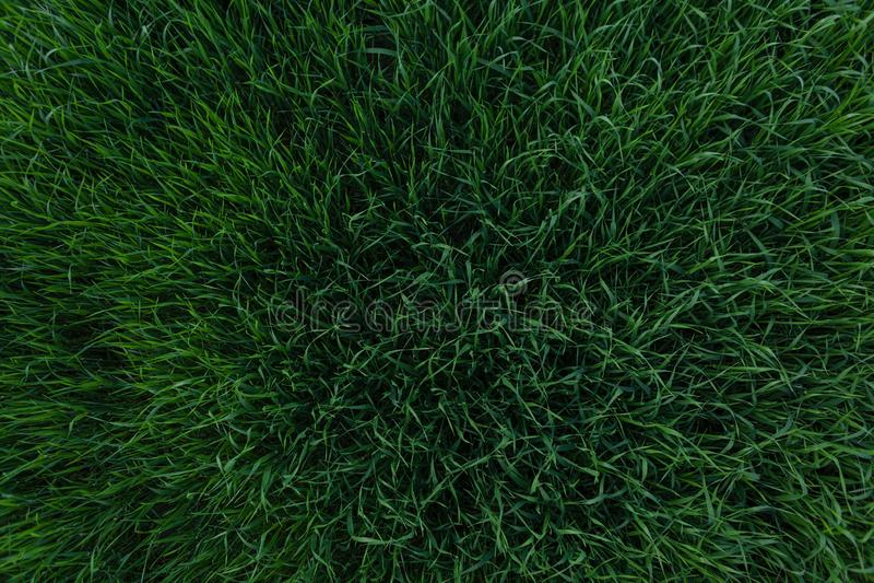 Textura hermosa del fondo de la hierba verde Elemento del diseño del césped Visi?n desde arriba foto de archivo