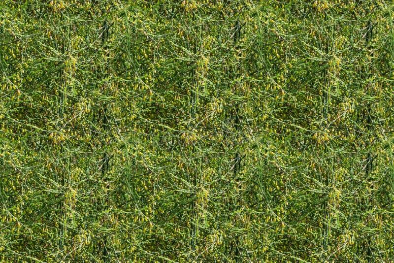 Textura horizontal inconsútil del espárrago verde con las semillas amarillas, o espárrago de jardín, hierba popular del gorrión d fotos de archivo