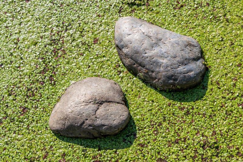 Textura horizontal verde hermosa de la planta acuática de la lenteja de agua en una charca y dos piedras lisas grandes grises imagen de archivo