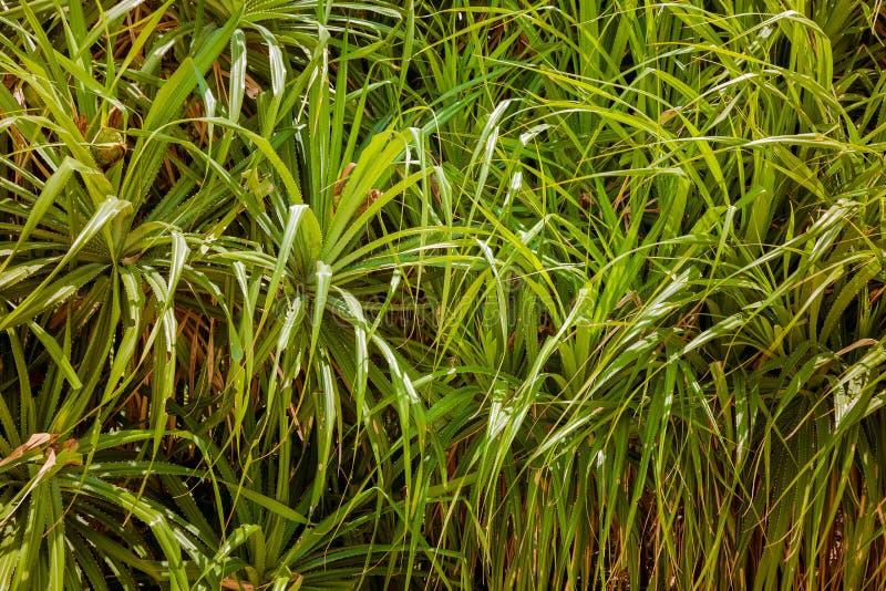Textura Las hojas del verde del árbol de Pandan se cierran para arriba Frutas salvajes tropicales de la piña del Pandanus fotos de archivo libres de regalías