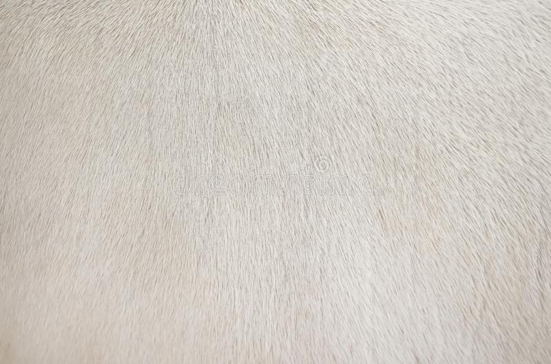 Textura limpia de la piel blanca real de la vaca, fondo animal del modelo natural del extracto foto de archivo libre de regalías