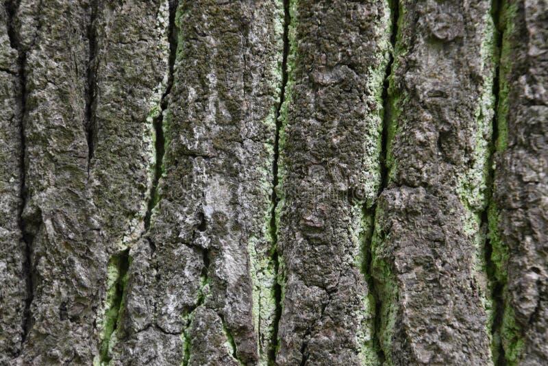 Textura liquen-cubierta verde áspera de la corteza del roble viejo foto de archivo libre de regalías