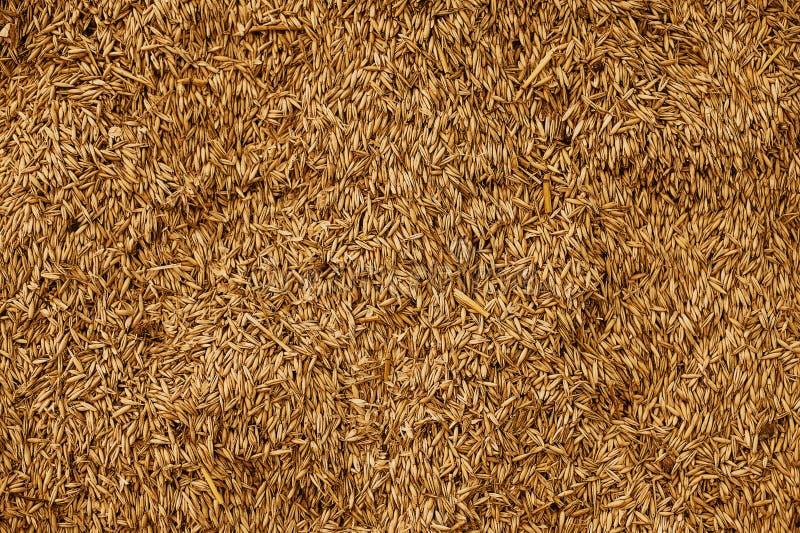 Textura malteada del grano del trigo Concepto rico de la cosecha Primer de los granos imagen de archivo libre de regalías