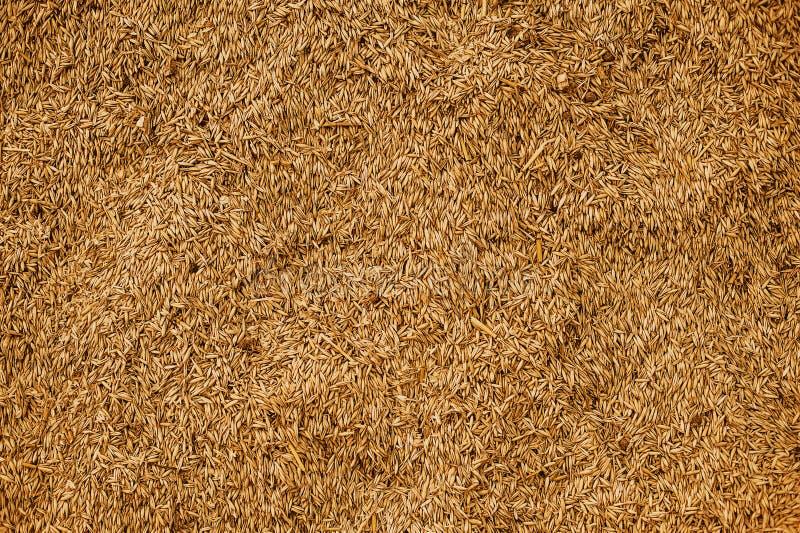 Textura malteada del grano del trigo Concepto rico de la cosecha Primer de los granos foto de archivo libre de regalías