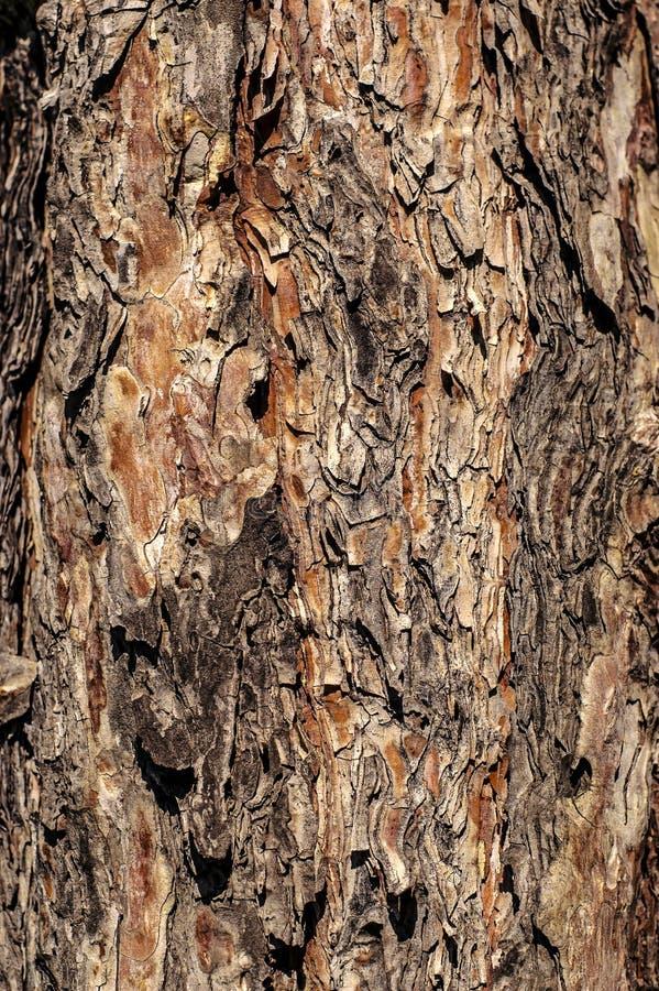 Textura multicolora de la corteza de árbol de pino imagenes de archivo