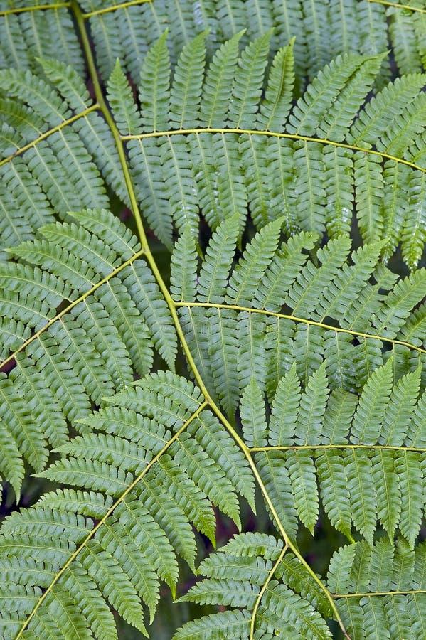 Textura natural formada por el helecho de árbol de la hoja fotografía de archivo libre de regalías
