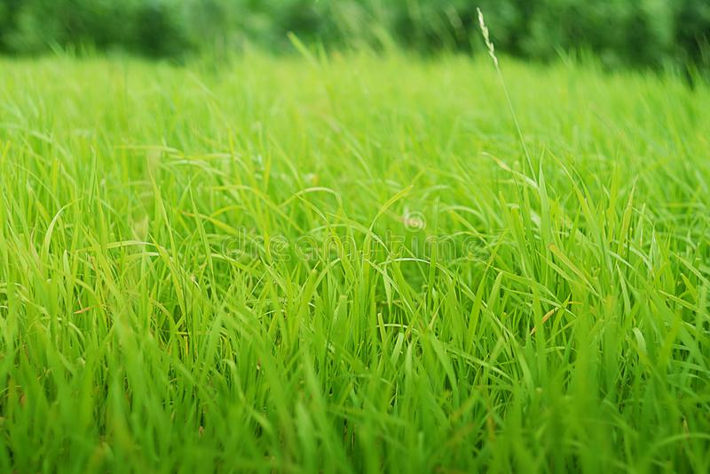 Textura o fondo con la hierba suave verde imagen de archivo libre de regalías